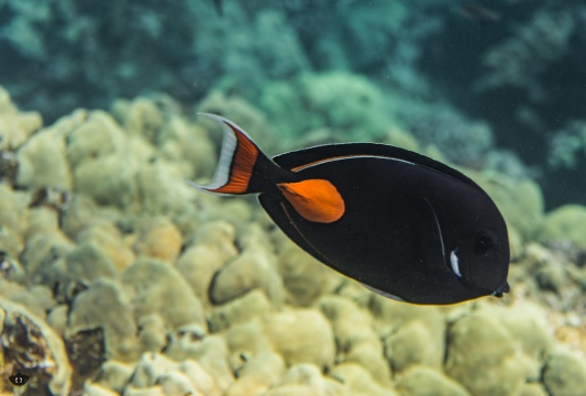 Achilles Tang, spotted at Ahihi-Kinau Natural Area Reserve