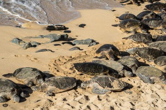 Sea Turtles at Ho'okipa Beach Park