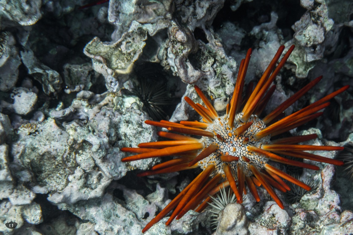 Red Pencil Sea Urchin, spotted at Ahihi-Kinau Natural Area Reserve