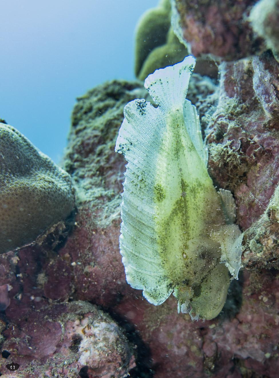 White Leaf Scorpion Fish, spotted at Ulua Beach