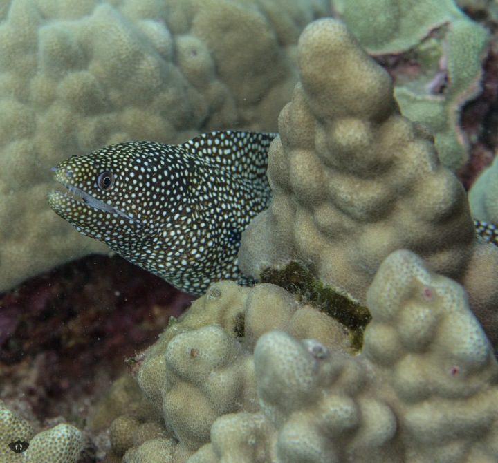 White Spotted Moray Eel, spotted at Makena Landing