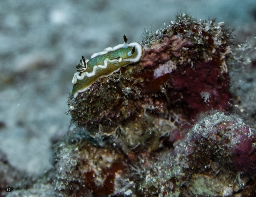 White Margin Nudibranch, spotted at Triple Anchors
