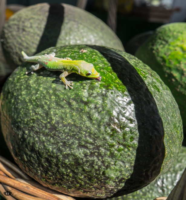 Lizard, spotted at a fruit stand an the way to Pololū Valley