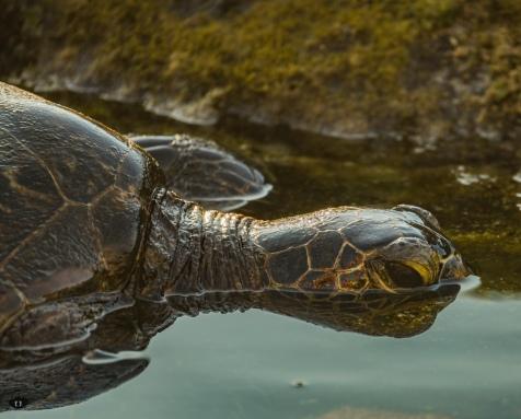 Sea Turtle, spotted at Wai'aha