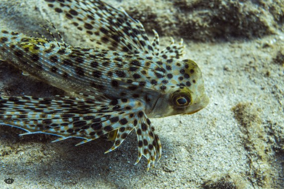 Flying Gurnard, spotted at Ulua Beach