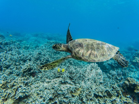 Sea Turtle, spotted at Ahihi-Kinau Natural Area Reserve