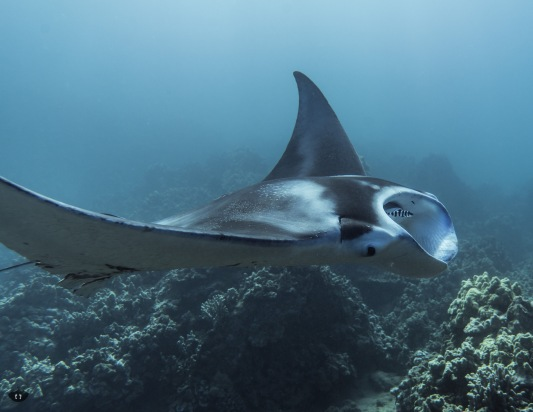 Manta Ray, spotted at Ulua Beach