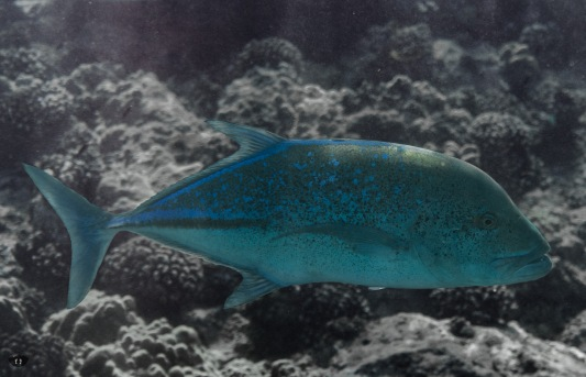 Ulua, spotted at Ahihi-Kinau Natural Area Reserve