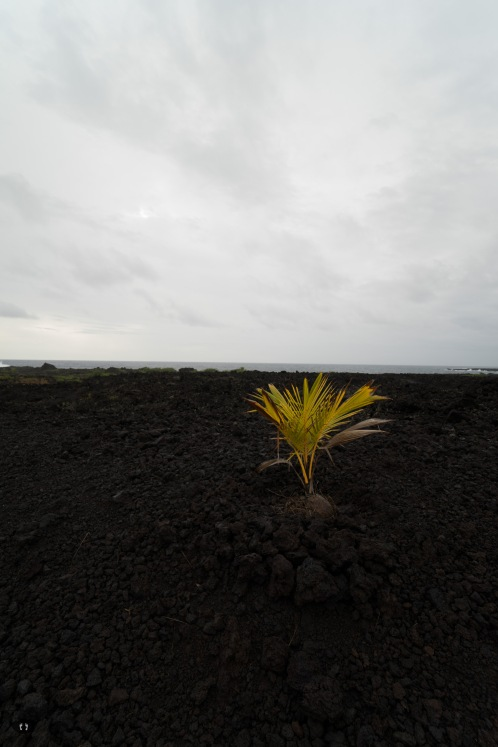 first plants on the lava filed grow again