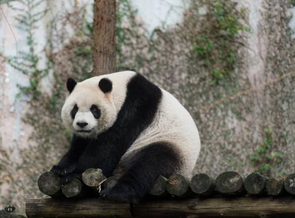 Panda, Taipei Zoo