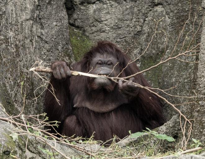 Orangutan, Taipei Zoo