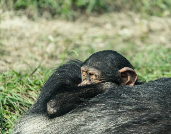 Ape, Taipei Zoo