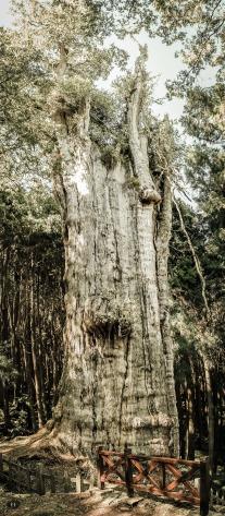 Shuishan Giant Tree, Alishan