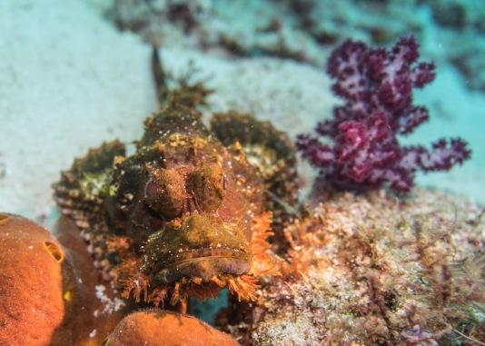 Poss's Scorpionfish