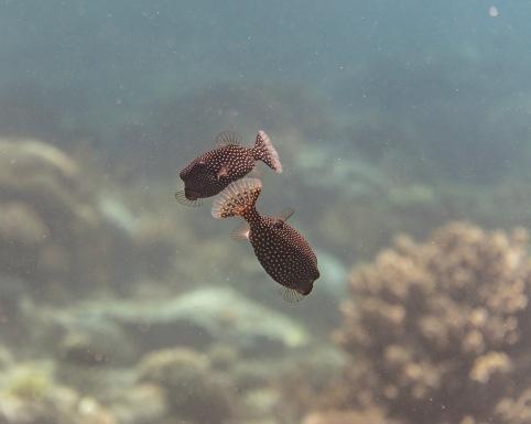 Dancing Boxfish