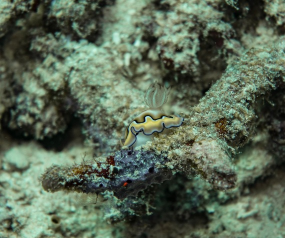 Co's Chromodoris Nudibranch