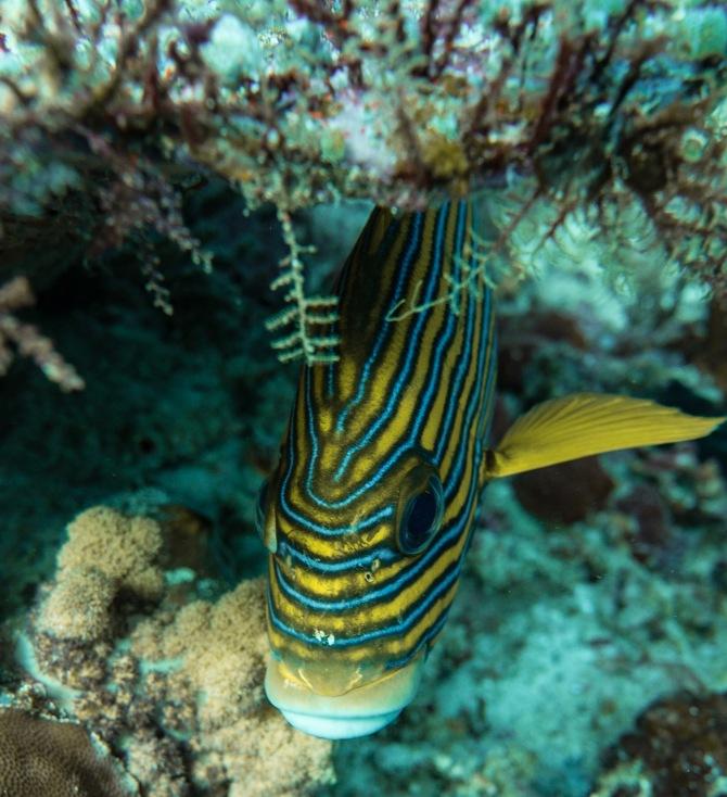 Ribbon Sweetlip Fish
