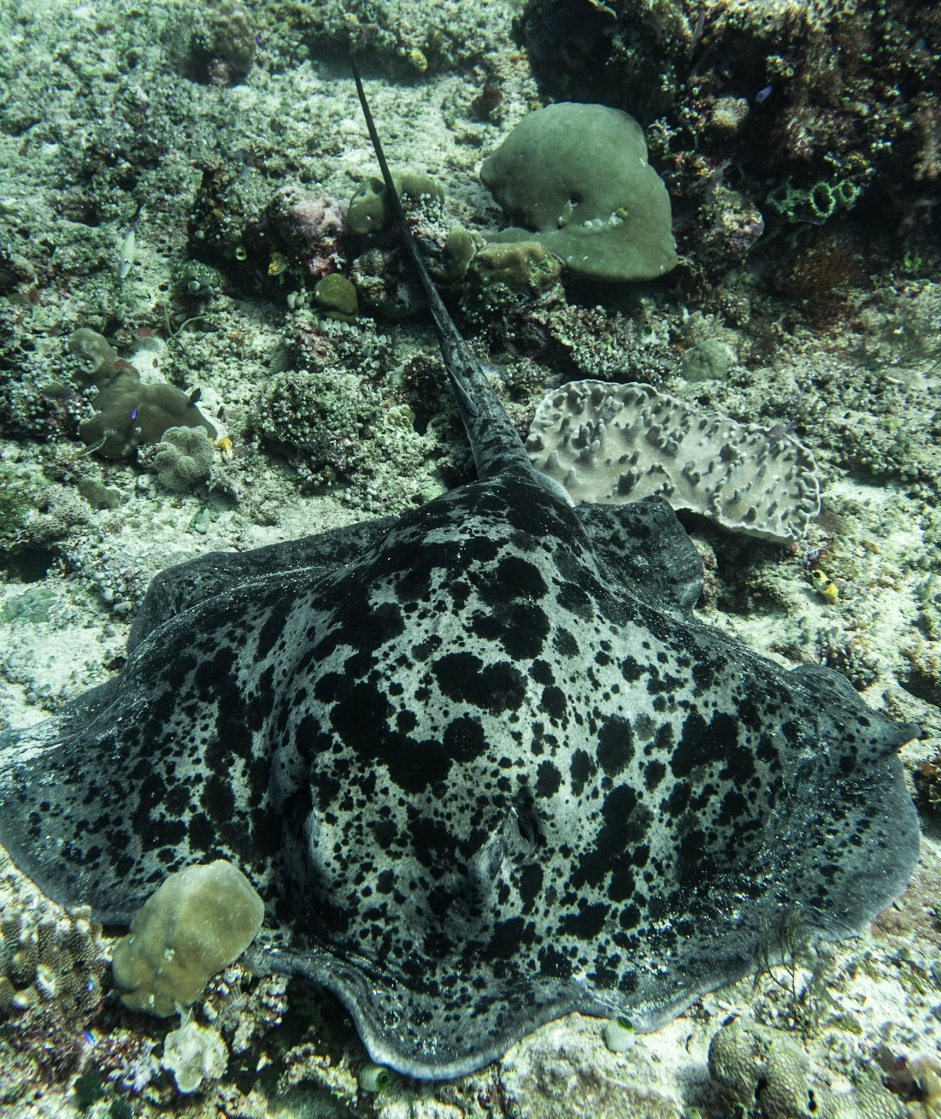 Black-Bloched Stingray