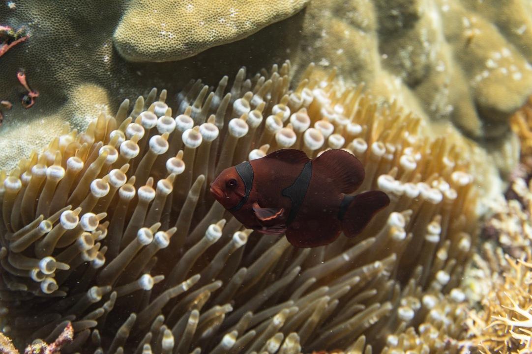 Anemonen Fish