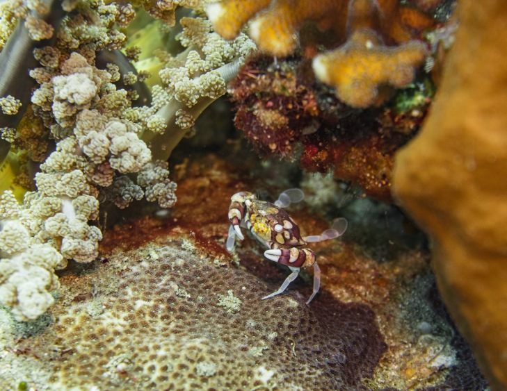 Crab hiding in corals