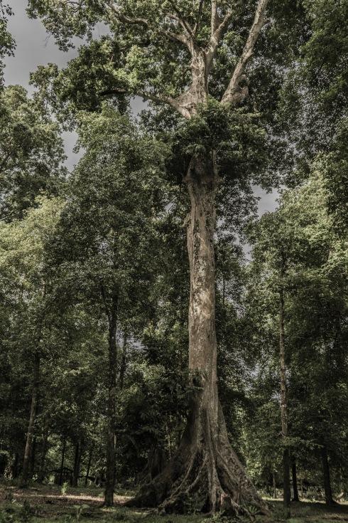 Kenari Nut Trees