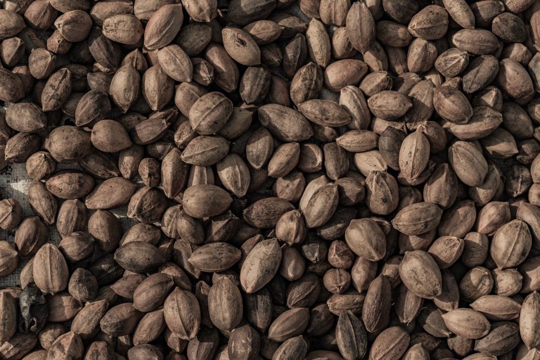 Kenari Nuts