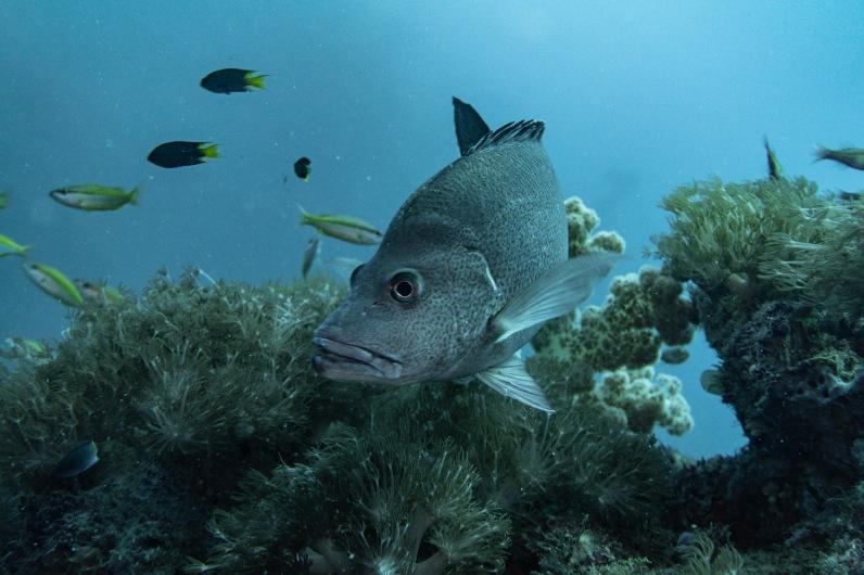 Fish - SS Yongala